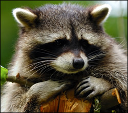 Raccoon Removal Raccoons In Attic Or On Roof The